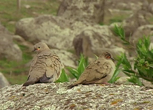 Andesdue & Tucumandue (Black-winged & Bare-eyed Ground-Dove); El Infiernillo