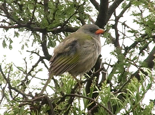 Pampasspurv (Great 'Olivaceous' Pampa-Finch); near Mendoza