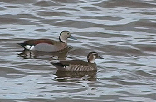 Prydand (Ringed Teal), Costanera del Sur