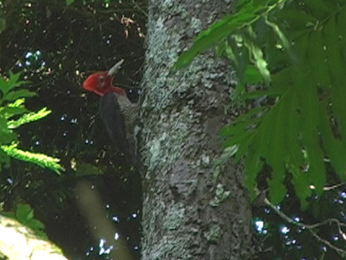 Gladiatorspett (Robust Woodpecker); Salto Incartado