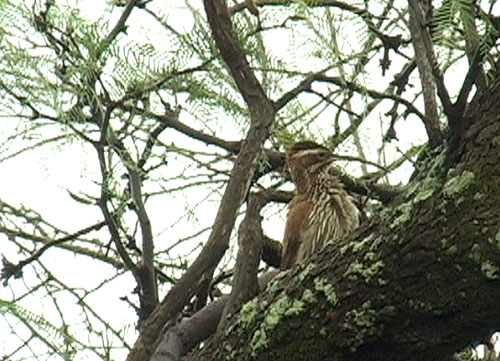 Sabeltrel�per (Scimitar-billed Woodcreeper); Chancani